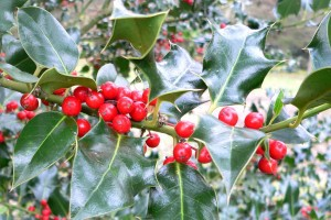 holly, the remedy for envy, anger and jealousy