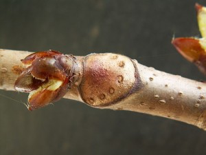 Horse chestnut twig with leaf scar; https://upload.wikimedia.org/wikipedia/commons/8/82/Aesculus_hippocastanum_PICT1758.jpg