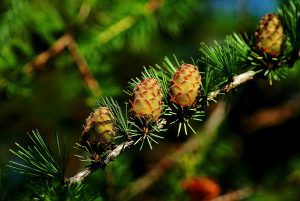 Larch cones; image from pixabay.com