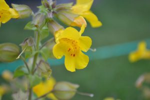 Mimulus; image from pixabay.com