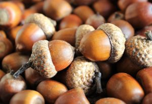 Acorns; image from pixabay.com
