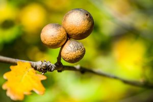 Oak galls; image from pixabay.com