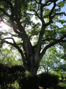 Oak tree; image from pixabay.com