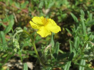 Common rock rose; image from pixabay.com