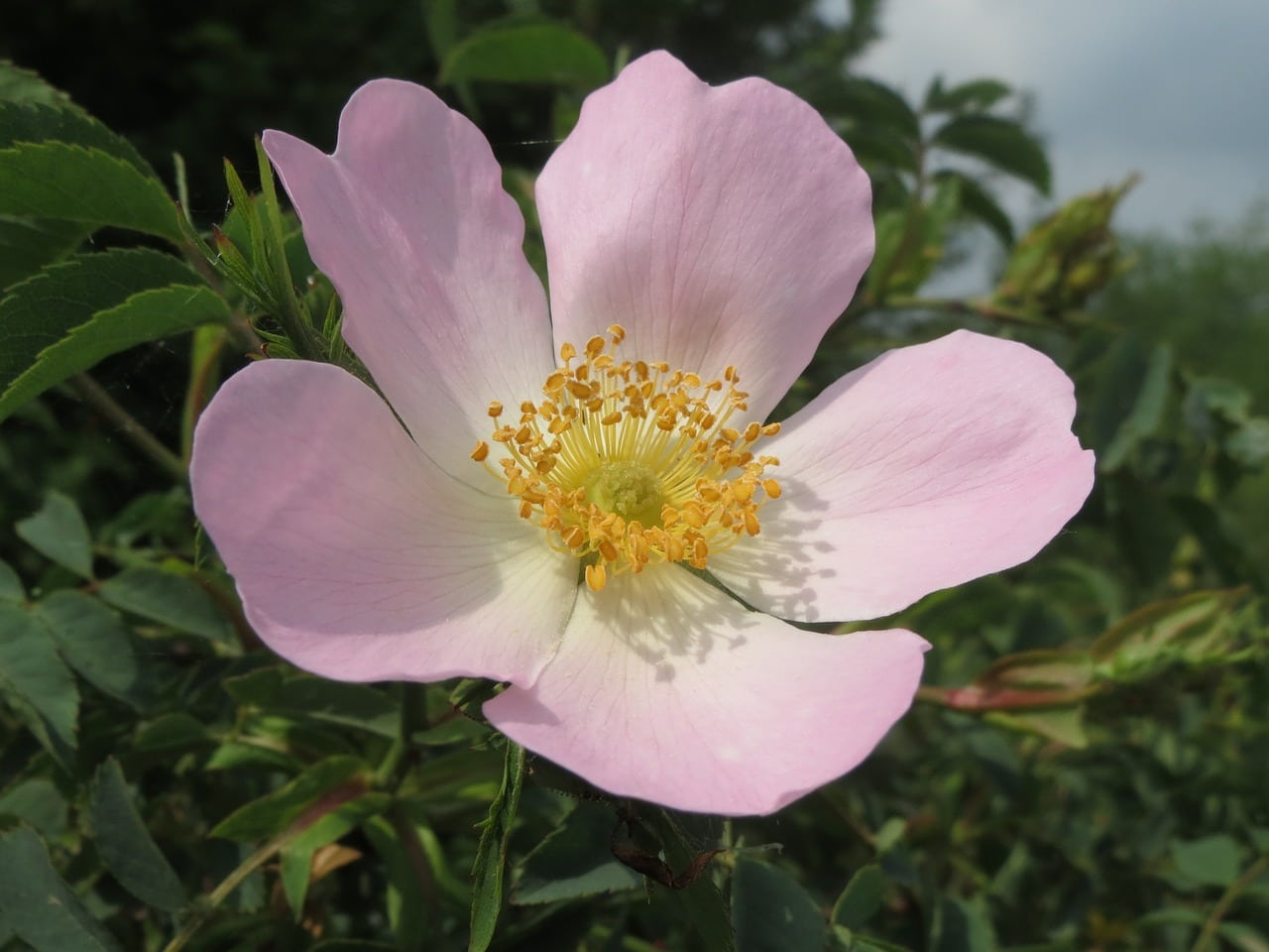 secrets of the bach flower remedy plants 36 wild rose. Black Bedroom Furniture Sets. Home Design Ideas
